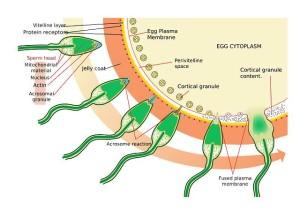 schwarzes-maca-spermien-qualität